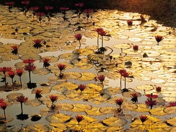 80 x 60 / Lotus Pond ( Baumann Bruno )