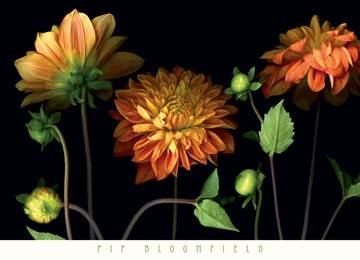 91x66 | Orange Dahlia Garden ( Bloomfield Pip )