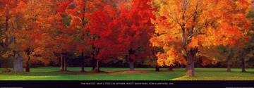 95 x 33 / Maple Trees in Autumn ( Mackie Tom )
