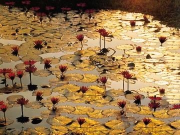 Reprodukce obrazu 80 x 60 / Lotus Pond ( Baumann Bruno )