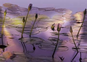 Reprodukce obrazu 70 x 50 / Lotus ( Harris Susan )