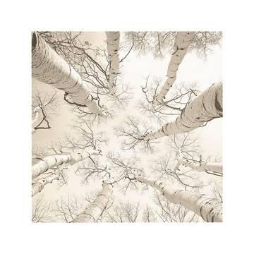Reprodukce obrazu 51 x 51 / Silver Birch ( Brock Adam )
