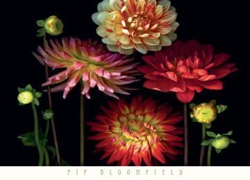 Reprodukce obrazu 91 x 66 / Dahlia Garden ( Bloomfield Pip )